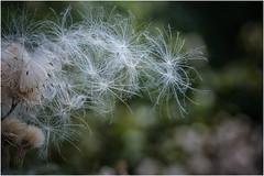 a breath of wind and ... (miriam ulivi - OFF /ON) Tags: miriamulivi nikond7200 austria seefeldintirol agosto estate august summer piantaspontanea wildplant macro nature