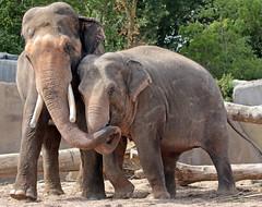 asiatic elephant Nicolai and Yindee artis JN6A1536 (j.a.kok) Tags: elephant asia asiaticelephant azie aziatischeolifant animal artis mammal zoogdier dier herbivore olifant yindee nicolai