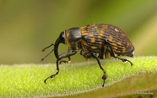 Weevil, Cratosomus sp.? Curculionidae