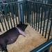 Pig Pens at Swine Barn - Livestock at Minnesota State Fair