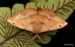Sackbearer Moth, Druentica sp., Mimallonidae (ID by Ryan St Laurent (Ecuador Megadiverso) Tags: andreaskay birdwatcherslodge ecuador mindo moth druentica mimallonidae