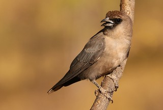 Black-faced Woodswallow (38)
