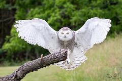 Snowy Owl (Don Cortell) Tags: 2018 avian beak birds birdsofprey buboscandiacus eyes feathers flight raptors snowyowl wingspan