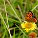 Small Copper. (#inexplore)