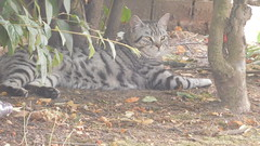 Its a jungle  out there (claire artistandpoet Stroke Survivor) Tags: autumn cat pussy stripes animal