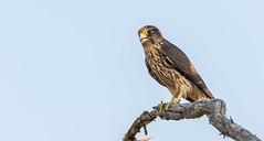 Faucon émerillon // Merlin (Alexandre Légaré) Tags: faucon émerillon merlin falco columbarius oiseau rapace bird prey animal wildlife nature falcon nikon d7500