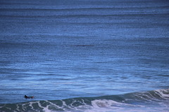 IMG_3644 (gervo1865_2 - LJ Gervasoni) Tags: surfing with whales lady bay warrnambool victoria 2017 ocean sea water waves coast coastal marine wildlife sealife blue photographerljgervasoni