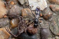 Spider Hunter, Pt. 3 - _TNY_5825 (Calle Söderberg) Tags: macro canon canon5dmkii canoneos5dmarkii canonef100mmf28usmmacro 5d2 flash meike mk300 glassdiffusor raynox dcr250 insect spider spindel krabbspindel xysticus audax brynkrabbspindel crabspider stekel wasp paralyzed prey babyfood carry drag vägstekel vedvägstekel aspvägstekel thomisidae pompilidae reversedroles dipogon variegatus pompilidwasp spiderwasp spiderhunter blackwasp paralyze victim food araneae arachnida