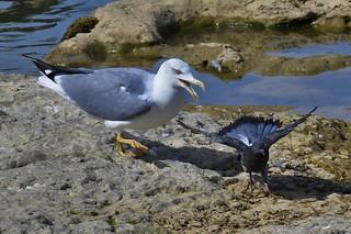 Goéland leucophée - Larus michahellis - Yellow-legged gull