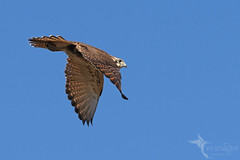 Brown Falcon (VS Images) Tags: brownfalcon falconidae falcons falcoberigora raptors birdsofprey birds bird birding bif birdsinflight flight feathers wildlife wildlifephotography animals avian australianbirds australianwildlife australia nsw nature ngc naturephotography vsimages vassmilevski olympus olympusau olympusinspired getolympus m43 omd