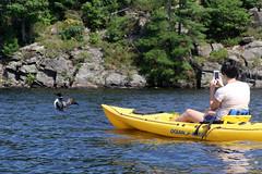 stealing your shot (scienceduck) Tags: 2018 september scienceduck ontario canada lake water muskoka lakemuldrew muldrewlake muldrew val kayak loon bird