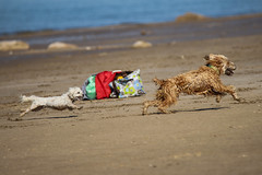 Fun On The Beach (jimmy.stewart40) Tags: activity animals dogs running chasing beach fun sand water