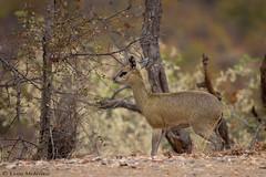 Klipspringer (leendert3) Tags: leonmolenaar southafrica krugernationalpark wildlife nature mammals klipspringer ngc npc