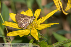 Lace-winged Roadside-Skipper - Hodges#4099 (Amblyscirtes aesculapius) 20180727_3293.jpg (Abbott Nature Photography) Tags: neoptera skippers organismseukaryotes lepidopterabutterfliesmoths butterfly endopterygota pterygota animals hesperiidaeskippers hexapoda arthropodaarthropods invertebratainvertebrates insectainsects papilionoidea brent alabama unitedstates us