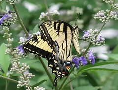 One of Just a Few! (qt flickr) Tags: summer2018 easterntigerswallowtail