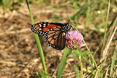 2018 Monarch Butterfly 053 - Danaus Plexippus (Chrisser) Tags: insects insect butterflies butterfly monarch danausplexippus nature ontario canada canoneosrebelt6i canonef75300mmf456iiiusmlens nymphalidae
