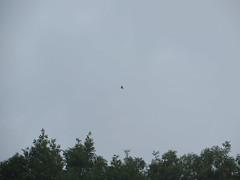 sparrowhawk above the ash trees (river crane sanctuary) Tags: sparrowhawk rivercranesanctuary