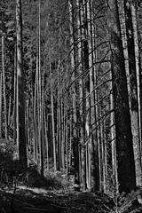 Forest trunks (emmjol2) Tags: forest bw austria trunks noirblanc nikon tree trees blackwhite 35mm wood