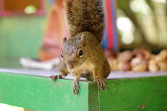 Close inspection (Rodrigo P.C.) Tags: travel brazil sony squirrel animal nut