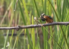 9Q6A3109 (2) (Alinbidford) Tags: alancurtis brandonmarsh kingfisher nature wildbirds wildlife