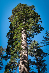 A Majestic Sequoia in Tuolumne Grove