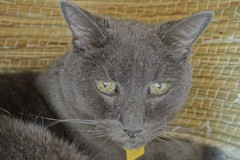Bonkers' 19th Birthday, in His Favorite Cat House (sjrankin) Tags: 15september2018 edited animal cat kitahiroshima hokkaido japan bonkers birthday closeup hdr cathouse wicker chigura