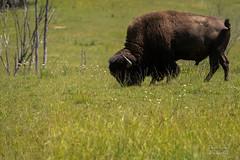 La plaine des bisons ! (Denis-et-Alain-nature) Tags: nature natureperfection naturephotographie bisons mammifères animals animaux pictureoftheday animalier canada nikond810 nokkor70300mm f3556 reflex62 deniscoeurphotographe62