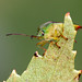 Birch Shieldbug - with eyebrows :)