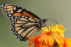5Q7A8672 (smo2000) Tags: monarch insect bug mexican sunflower sun flower texture kansas summer depth field mk ii 7d canon