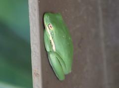 American green tree frog (Hyla cinerea) (im2fast4u2c) Tags: american green tree frog hyla cinerea sheldonlakestatepark animal wildlife reptile genus