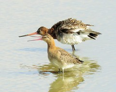 Black tailed Godwits (brianwaller703) Tags: black tailed godwits