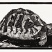 Turtle by Julie de Graag (1877-1924). Original from the Rijks Museum. Digitally enhanced by rawpixel