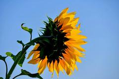 Derrière la tête (Diegojack) Tags: vaud suisse echandens d500 nikon nikonpassion plantes fleurs tournesols lumières fabuleuse