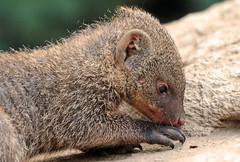banded mongoose Duisburg 094A0177 (j.a.kok) Tags: mangoest mangoose gestreeptemangoest bandedmongoose africa animal afrika duisburg mammal zoogdier dier
