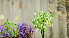 _DSC7475 (whotneckst) Tags: nikkor105mmf25ai nikond700 manualfocus flowers