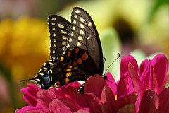 Black Magic (Pittsburgh Cam Miller) Tags: swallowtail easternblackswallowtail butterfly bokeh garden zinnia pinkzinnia