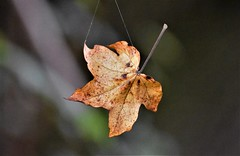 Hanging by a thread. (pstone646) Tags: leaf flora thread hanging nature bokeh suspended web maple