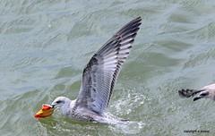 Gull J78A0879 (M0JRA) Tags: gulls birds flight flying wildlife rats walks gardens parks fields trees lakes ponds ducks swans rspb