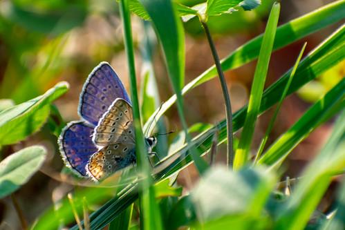 Metulj / Butterfly