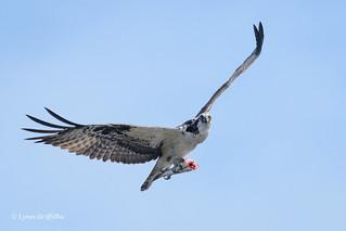 Osprey with lunch 500_5648.jpg