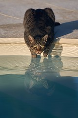 elle est un peu fraîche (rondoudou87) Tags: cat chat water eau piscine regard eyes yeux look color couleur bleu blue reflection reflexion reflet pentax k1 lumière light ombre shadow rondoudou87