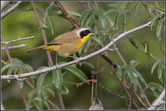 Yellowthroat 3014 (maguire33@verizon.net) Tags: commonyellowthroat geothlypistrichas losangelescountyarboretum