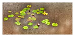 august rain (alamond) Tags: waterlily pond water rain august summer green flower nature huawei mate10pro leica phoneography brane zalar alamond circles