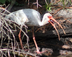 American white ibis (Eudocimus albus) (im2fast4u2c) Tags: american white ibis eudocimus albus sheldonlakestatepark animal wildlife bird avian