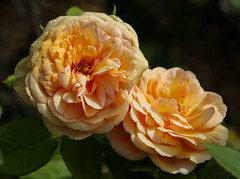 Charles Austin (LuckyMeyer) Tags: flower fleur rose david austin garden apricot orange yellow summer blume blüte