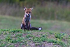 SNY_1426-1.jpg (steph-55) Tags: nikond800 nikon200500f56 steph55 renard fox loraine meuse verdun faune vulpesvulpes