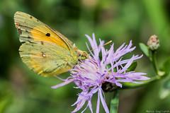 Falena (Marco Gagliardi) Tags: macro micro nikond7200 sigma nikon nikkor insetto insect ape bene cavalletta cormor flower fiore campo light luce godox farfalla butterfly farlallina falena