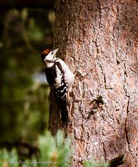 Lesser Spotted Woodpecker (broadswordcallingdannyboy) Tags: woodpecker greatspottedwoodpecker scotland woodland bird wildlife wildbird pinetree caledonianpine eos7d ef70200mmf4lisusm zoomlens 70200mm light tree cairngorms highlands leonreillyphotography copyright