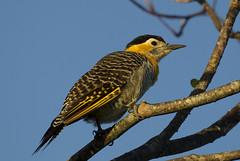 Field Flicker (richard.mcmanus.) Tags: fieldflicker iberawetlands coloniacarlospellegrini argentina southamerica bird wildlife mcmanus