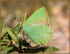 L'Argus vert ! (watbled05) Tags: macro papillon plante fleur bokeh